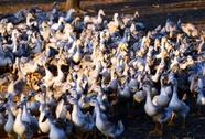 Nghi đàn vịt bị cúm, tự giết 250 con vịt