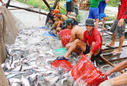 Khốn khổ đòi tiền bán cá