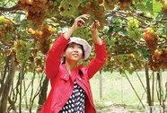 Nho Ninh Thuận ngày càng teo tóp