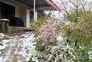 Sa Pa: Đào rực rỡ khoe sắc trong tuyết trắng