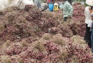 Hàng chục ngàn tấn hành tím tồn đọng bị hư hỏng