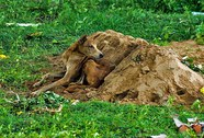 Chú chó tuyệt thực nằm bên mộ chủ suốt hơn 2 tuần