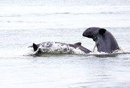 Thủy điện Mekong đe dọa cá heo quý