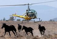 Mỹ nhức đầu vì ngựa hoang