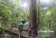 Tận diệt rừng ươi vì giá ươi tăng cao