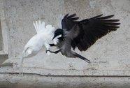 """Chim bồ câu của Giáo hoàng bị """"phục kích"""""""
