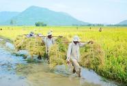 Gạo Việt không lo bị Mỹ kiện