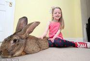 Thỏ khổng lồ dài bằng em bé 6 tuổi