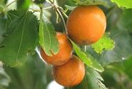 Những loại quả đẹp mắt chứa nhiều độc tố