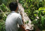Tàn phá rừng ươi lấy hạt