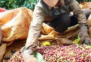 Giá cà phê tăng từng ngày