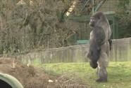 """Khỉ đột gây """"sốt"""" vì đi 2 chân như người"""