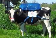 """Lấy khí """"đánh rắm"""" của bò sữa làm nhiên liệu xe hơi"""