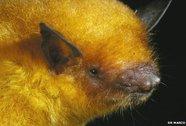 Phát hiện dơi lông ánh kim ở Bolivia
