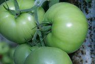 Cơ thể khỏe hơn nhờ cà chua xanh