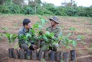 Tái canh cây cà phê già cỗi không dễ