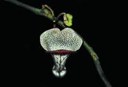 Loài thực vật mới trên thế giới được phát hiện ở Thanh Hóa
