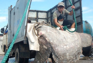 Bắt được cá mặt trăng quý hiếm nặng hơn 500 kg, dài 2,8 m
