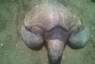 Thả rùa biển quý hiếm mắc lưới về biển