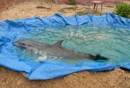 Cá heo bị thương dạt vào bờ được người dân chăm sóc