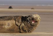 Hải cẩu cười nắc nẻ khiến du khách mê mệt