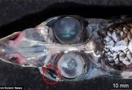 Cá 4 mắt có tầm nhìn đến 360 độ
