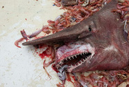 Cá mập yêu tinh quái dị sa lưới