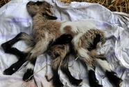 Dê 8 chân ra đời ở Croatia