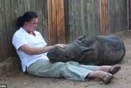Mẹ chết, tê giác con không chịu ngủ một mình
