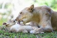 Sư tử mẹ quên mình cứu sư tử con
