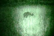 Bò lạ nghi là bò tót bỗng dưng biến mất