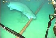 """Cá mập trắng """"ăn"""" cáp quang biển của Google"""