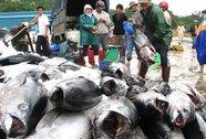 Vì sao cá ngừ Việt Nam không thể làm sushi?