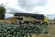 Thương lái Trung Quốc lén lút thuê đất trồng dưa hấu