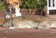 Anh: Bắt được chuột to bằng chó nhà