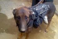 Taliban khoe bắt được chó nghiệp vụ Mỹ
