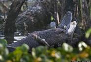 Rái cá khổng lồ ăn thịt cá sấu Mỹ