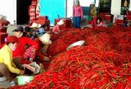 Trung Quốc ngừng mua, giá ớt rớt thê thảm