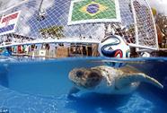 """Rùa """"đầu to"""" đoán Brazil thắng Croatia"""