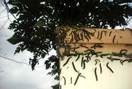 Hàng ngàn con sâu xanh tấn công nhà dân