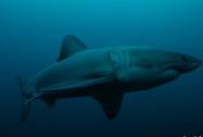 """""""Quái vật khổng lồ"""" ăn thịt cá mập trắng dài gần 3m"""