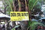 """Cây dừa """"độc"""" với 38 đọt"""