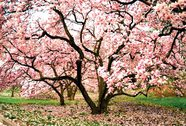 Khả năng trị ung thư của cây hoa mộc lan
