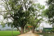 KHÔNG NỠ CHẶT CÂY XANH (*): Giữ cây bằng mọi giá