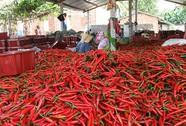 Giá ớt tăng, người trồng khấm khá