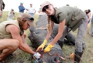 Bơm chất độc vào sừng tê giác để cứu loài vật đang bên bờ tuyệt chủng