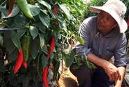 Xuất khẩu ớt sang Nhật