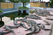 Háo hức nuôi cá sấu, coi chừng mắc bẫy!