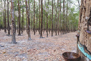 Đua nhau chặt cao su bán lấy gỗ