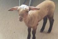 Cảnh sát Đức giải cứu một chú cừu trong nhà thổ